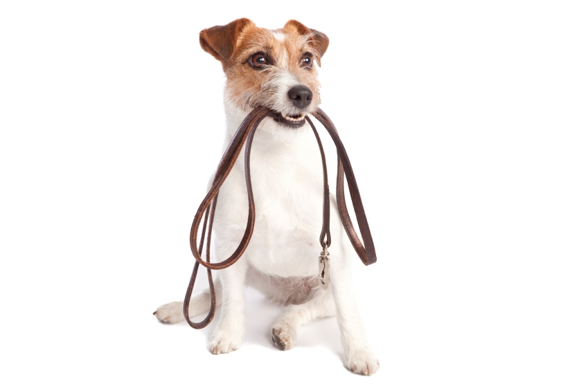 jack russel holding leash for dog walking and dog training